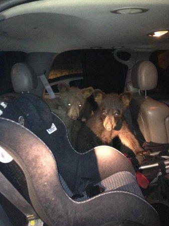 Медвежата забрались в машину и напугали ее владелицу