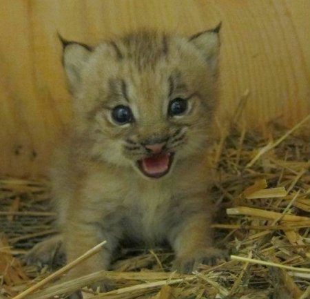 Маленький рысенок из канадского зооцентра