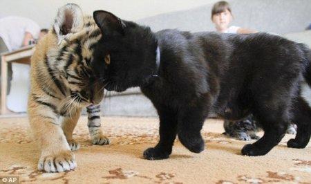 Собака стала приемной мамой для двух тигрят