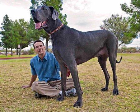 Пес Джордж - самая высокая собака в мире