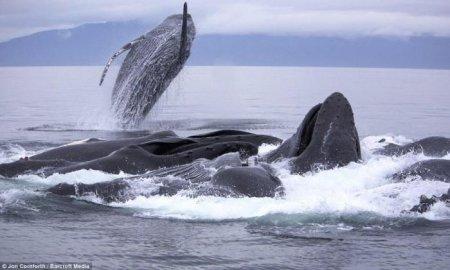 Охота горбатых китов на Аляске