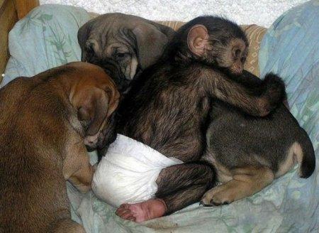 Собака породы мастифф заменила шимпанзе маму
