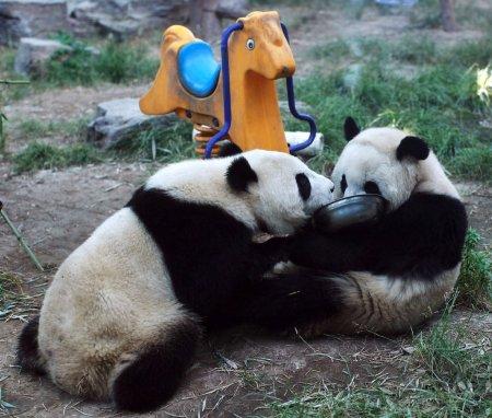 Очаровательные панды из пекинского зоопарка