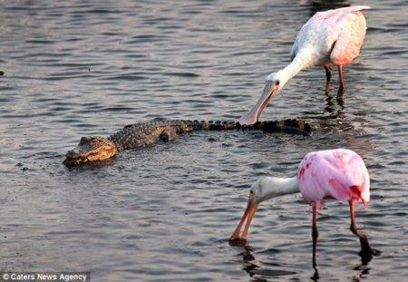Голодные птицы решили отобедать аллигатором