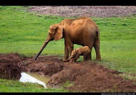 Слониха спасла своего малыша