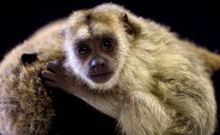 Обезьянка-ревун из зоопарка Эдинбурга