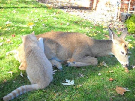 Неожиданное знакомство косули и кота