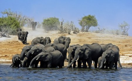 Слоны, слонихи и слонята
