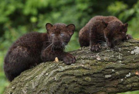 Пантеры-близнецы из берлинского зоопарка