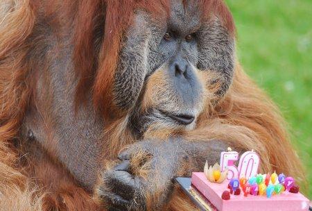 Cамый старый орангутанг в мире