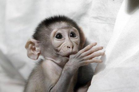 Очень стеснительная обезьянка
