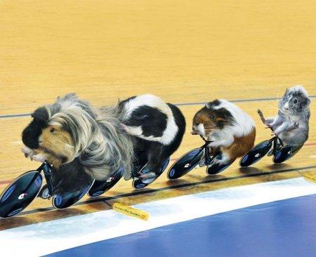 Морские свинки - олимпийские чемпионы!