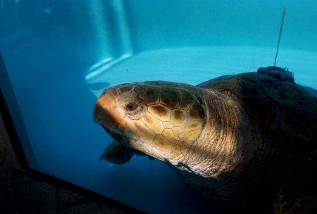 Головастая морская черепашка вернулась домой