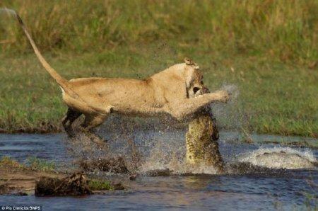 Жестокая схватка львицы с крокодилом