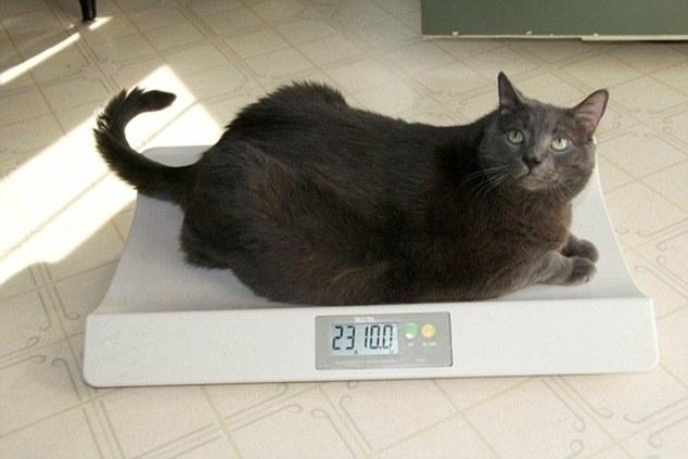 Кот Сбросил Вес. Как заставить похудеть толстую кошку?