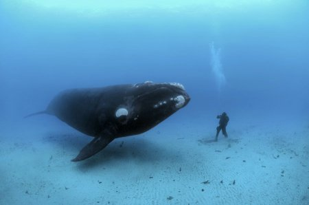 Синий кит - самое большое существо на планете