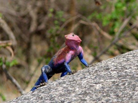 Ящерица-спайдермен