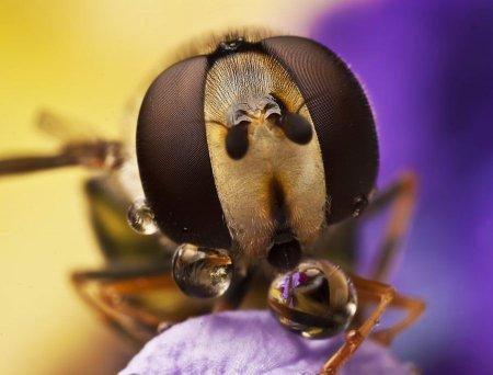 Макросъемка насекомых от Омида Гользара