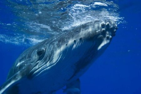 Самый одинокий кит в мире
