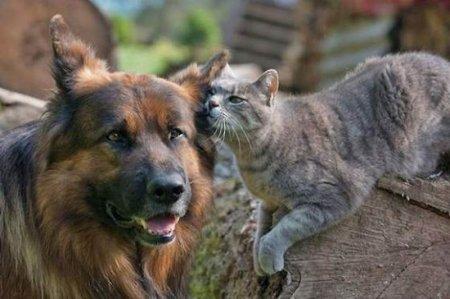 Дружба серого кота и немецкой овчарки
