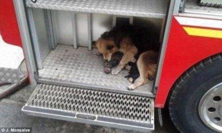 Собака спасла из пожара своих щенков