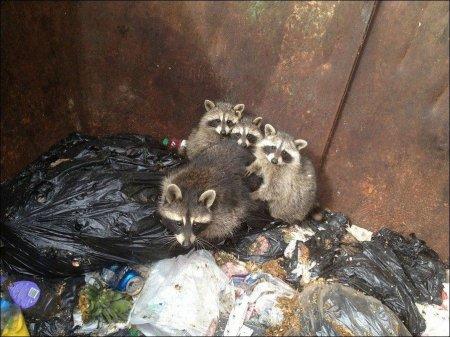 Енотики в мусорном баке