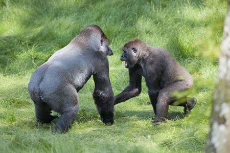 Трогательная встреча двух братьев-горилл