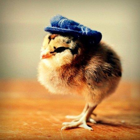 Цыплята в головных уборах