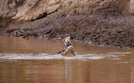 Миграция антилоп и зебр через опасную реку Мара