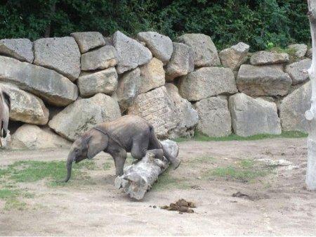 Слоненок учится преодолевать препятствия