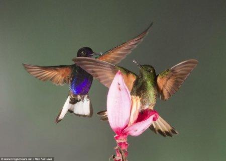 Колибри борются за цветок