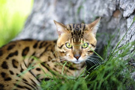 Самые популярные в Америке породы кошек