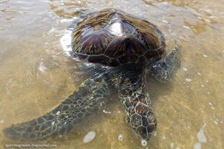 Самые большие морские черепахи