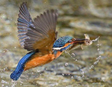 Красота зимородков через объектив Мэлка Брауна