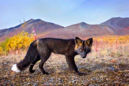 Черно-бурая лисица в фотосессии Сеффена Сейлора