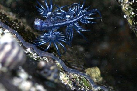 Голубой ангел – моллюск-кроха