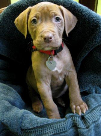 Очарование щенков-питбулей