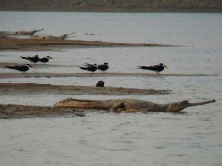 Ганский гавиал: крокодил, который никогда не нападает на людей