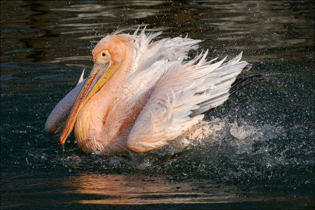 Интересное о пеликанах: то, чего вы могли не знать
