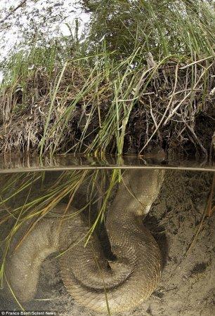 Восьмиметровые анаконды через объектив подводного фотографа Франко Банфи