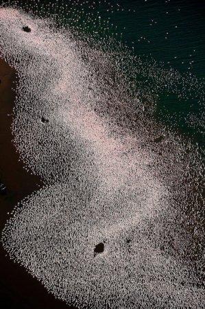 Тысячи розовых фламинго на озере Накуру в Кении