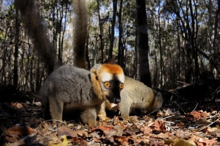 Лемуры Мадагаскара через объектив итальянского фотографа Паоло Торкио