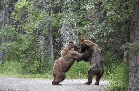 Драка двух медведей гризли в Национальном парке Катмай