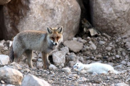Невероятная дружба лисицы и кота в фотографиях