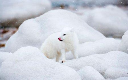 Канадские песцы в фотографиях Анны Хенли
