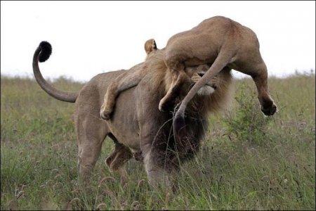 Царь зверей и материнский гнев