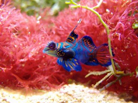 Психоделическая расцветка рыбки мандаринки