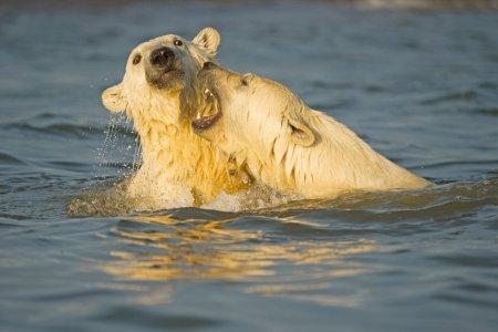 Любопытные полярные медведи Аляски, запечатленные на снимках Стивена Казловски