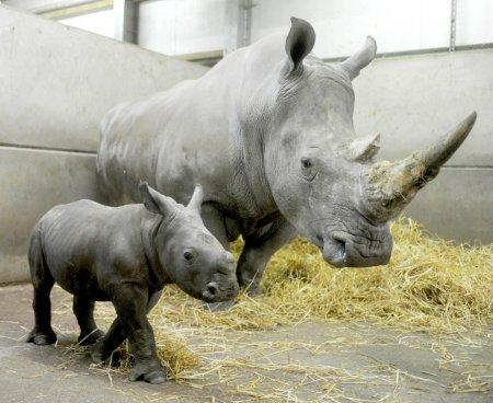 В британском сафари-парке Knowsley родился детеныш белого носорога
