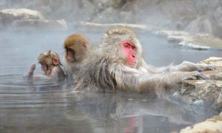 SPA-процедуры японских макак в парке Дзигокудани